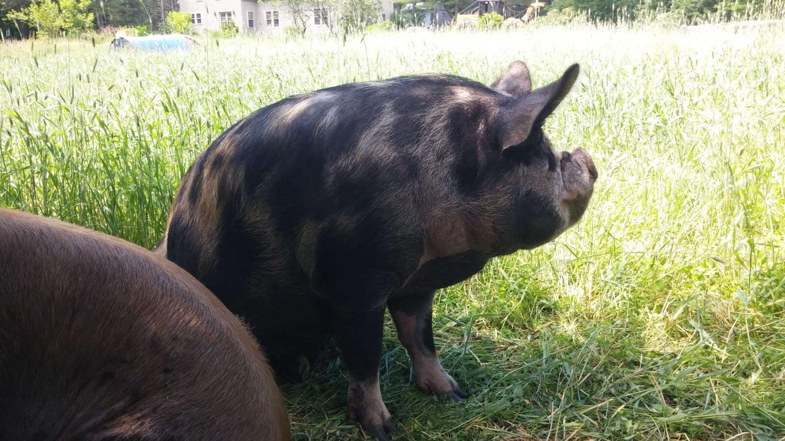 Idaho Pasture Pigs NH